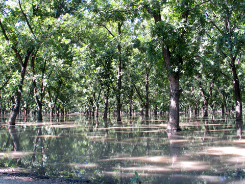 Pecan Irrigation - Mesilla